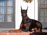 银川纯种杜宾犬大概多少钱一只 在银川什么地方能买到纯种杜宾犬