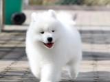 成都出售纯种萨摩耶犬 自家养殖的 当面测试交易 同城免费送狗