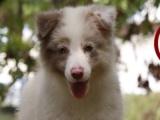 大卫牧园犬舍专业繁殖出售各色边境牧羊犬