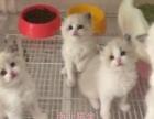 《专注繁殖健康猫咪》英短,美短,布偶,渐层