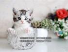 出售美国短毛虎斑猫纹清晰漂亮活泼可爱大气