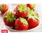 大连特产金线沟草莓,绿色食品认证,孕妇儿童水果