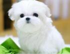 完美气质-高贵典雅-健康可爱-马尔济斯犬上门可优惠