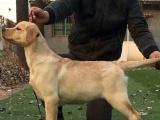 四个月黄色拉布拉多公幼犬