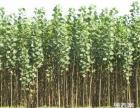 速生杨树苗不生长阶段不同移植方法