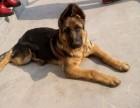 南充哪里有卖马犬的,马犬多少钱