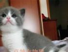 出售纯种健康精品英国短毛猫 蓝白正八粉笔头