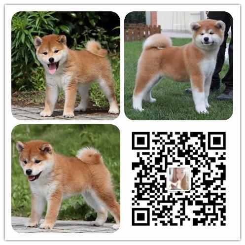 重庆哪里有好的幼犬出售 重庆哪里的幼犬好 狗场本地出售