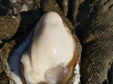 实惠的生蚝哪里有,生蚝批发多少钱一斤价格如何