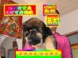 德国黑背视频看狗——种公配种——京津冀支持送货上门