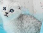 名猫公馆出售纯血统折耳猫 公母均有 疫苗驱虫已做