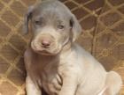哪里有卖威玛猎犬 正规繁殖幼犬 三个月质保 可签协议