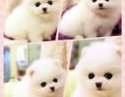 本犬舍常年出售纯种哈多俪博美幼犬俊介同款幼犬上门300一只