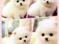 济南纯种哈多利版球体小体球形博美犬幼犬出售六个月包退换