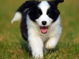 佛山在哪里有卖边牧幼犬 佛山纯种边境牧羊犬一只多少钱可以买到