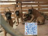 出专业繁殖大丹犬 血统纯正 疫苗齐全 品质保证