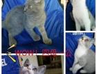 英短蓝猫美短标斑加白
