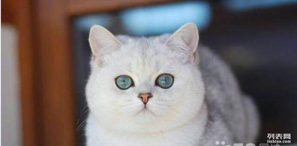 刚出生的英短渐层小猫接受预定了