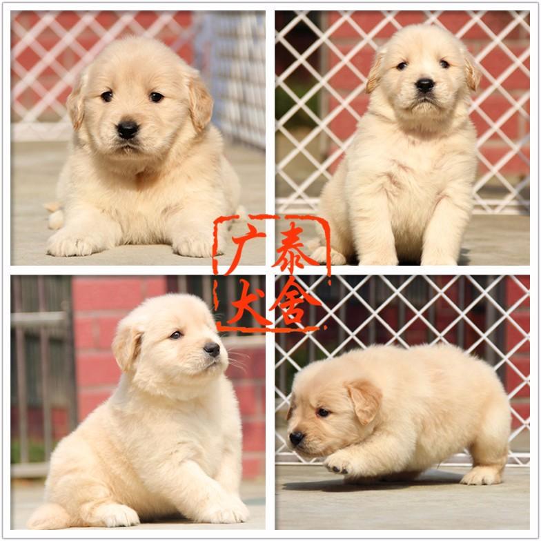 广泰犬舍珠海地区 出售精品金毛犬 可签协议