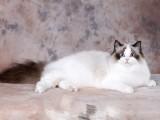 银川哪里有布偶猫卖 海豹双色 重点手套均有CFA认可多只可挑