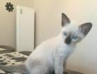 自己家下的暹罗小猫