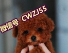 萌宠会所——出售信誉第一 品质第一 精品泰迪幼犬 健康质保