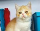 自家繁殖的单C加菲猫异国短毛猫2-3个月 多只待售
