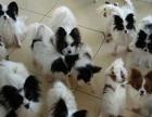 上海哪里有卖蝴蝶上海蝴蝶犬多少钱上海蝴蝶犬好养吗上海蝴蝶照片