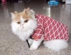 加菲猫求领养,异国长毛猫(波斯猫)
