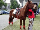 出租马匹 中山南区哪里有马匹出租