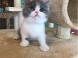 河北衡水猫舍直销蓝白幼猫出售