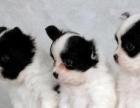 花色很好看,小狗也很对称的蝴蝶犬幼犬是很迷人聪明的