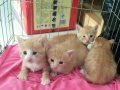家养英短虎斑猫