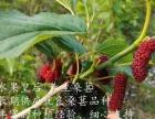 象州农民出售桑葚果桑葚果 量大代发大巴