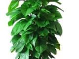大亚湾哪里有绿箩卖,深圳市富景园林专业批发室内植物