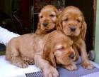 东莞那里有可卡犬卖 东莞可卡犬价格 东莞可卡犬多少钱