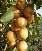 西藏梨树苗_供应品种好的梨树苗