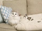 伊春出售自家繁育各种名猫 价格低 视频挑选