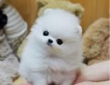 博美犬纯种家养繁殖比熊狗出售精品家养活体宠物狗
