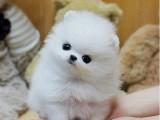 出售纯种家养博美幼犬 免费领养家养博美幼犬 包纯种健康