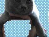 三个月大的英国短毛猫