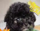 零投诉——出售纯灰泰迪幼犬 活泼可爱 聪明机智 没体