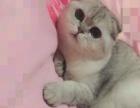 折耳短毛苏格兰银色渐层猫