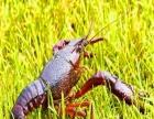 鑫源水产 稻田养殖龙虾,互利互用的作用下种植养殖双丰收