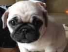 高品质巴哥犬签协议包健康纯种疫苗齐全有保障