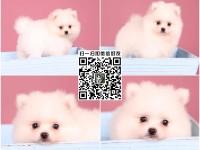 上海正规大型养殖场繁殖 博美犬 哈多利幼犬 好养才是硬道理