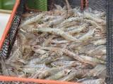 孝感南美白对虾苗室内淡水养殖培训 点击查看详情