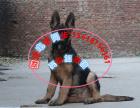 本地出售纯种德国牧羊犬 大骨骼品质 可上门挑选