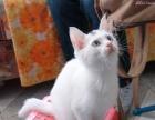 呆萌可爱小猫咪喜欢请直接联系来看实物