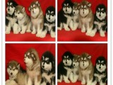 宠物繁殖基地长期出售秋田幼犬 保证品质健康
